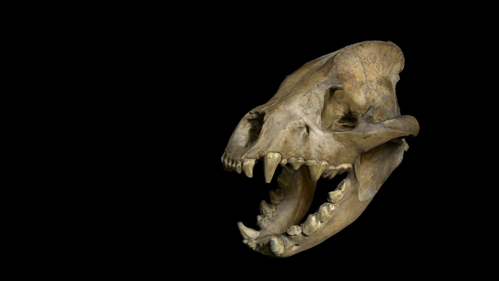 Numérisation 3D - Scanning 3D - Crâne de Hyène