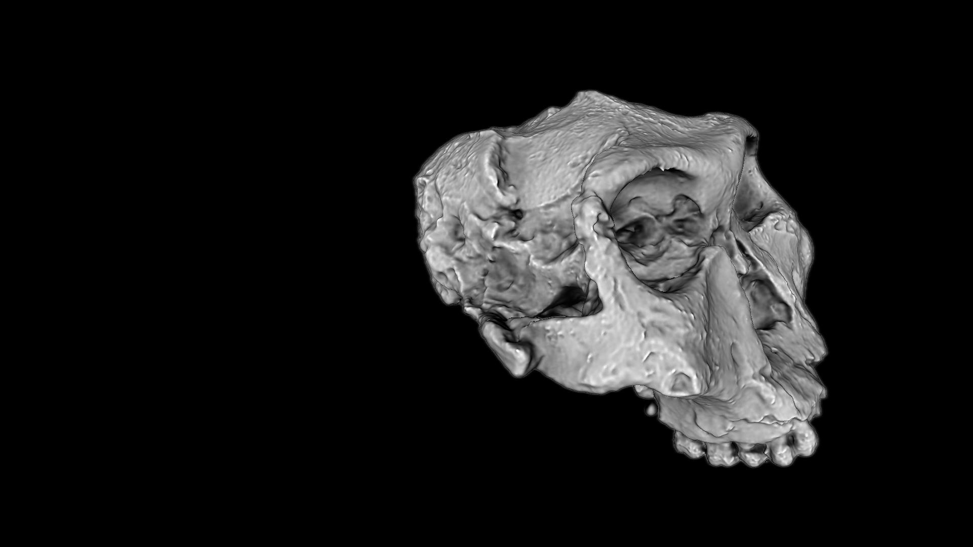 Crâne de Paranthropus robustus - Numérisation 3D